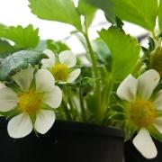 Aardbeien-bloemen-20160402_163517