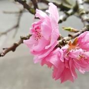 mini-perzik-pink-peachy-bloesem-20160402_163628